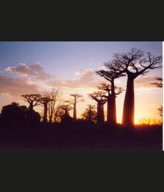 A Madagascar, à l'ombre d'un baobab