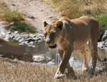 Lionnes, le combat des reines