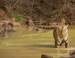 Le royaume de Maya la tigresse