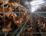 Pauvres poulets