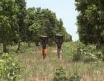 La mangue, itinéraire d'un fruit gâté