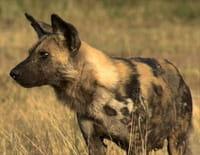 Terre de prédateur : Hyènes tachetées et lycaons