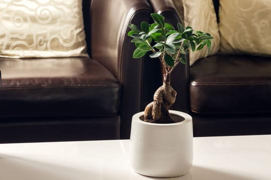 Ficus ginseng: conseils d'entretien, taille et arrosage
