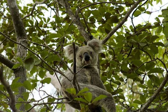 Koala en liberté