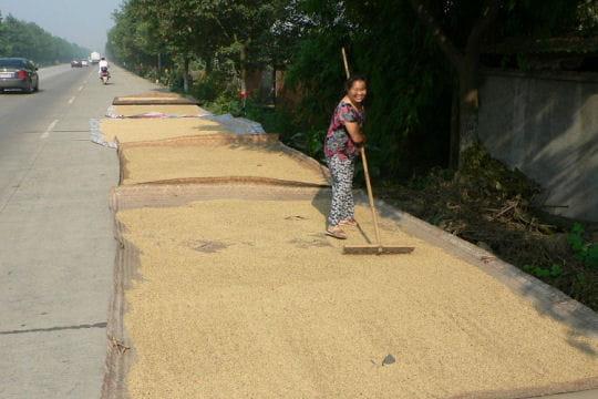 La récolte du riz sur les routes