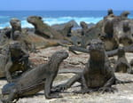 L'iguane marin des Galápagos