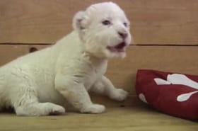 Le lionceau qui voulait rugir commeungrand