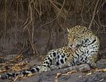 Jaguars vs crocs