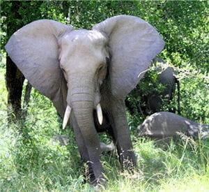 les éléphants sont capables de prévoir des catastrophes naturelles comme un