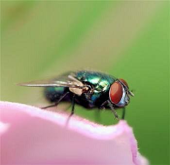 les oreilles d'ormia ochracea se situent sur son thorax.