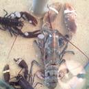 Restaurant : La Cabane Route d'Albi  - Un petit homard -