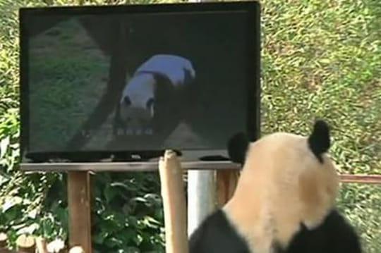 Un écran plasma remonte le moral d'un panda triste