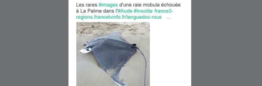 Une raie mobula s'échoue dans l'Aude : une triste nouvelle qui aidera à mieux connaître cette espèce