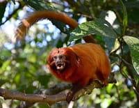 Terres sauvages en danger   : Brésil, le sanctuaire des tamarins lions dorés