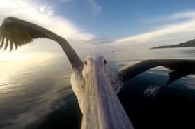 Vivez le vol d'un pélican de Tanzanie comme si vous y étiez
