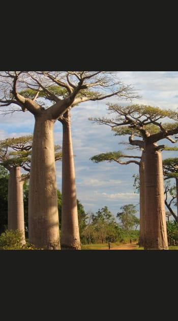 Madgascar, les forêts de baobabs