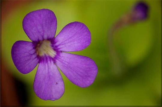 Fleur délivate