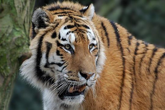 Le tigre, le plus gros des félins