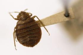 Tout savoir sur les punaises de lit: les détecter, les éradiquer, les éviter