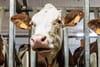 """L214: la vidéo sur des """"vaches à hublot"""" révèle-t-elle un scandale?"""