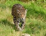 A la recherche du jaguar
