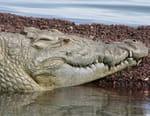 Le crocodile roi du Bilabong