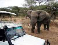 Sur le vif : Eléphant en furie