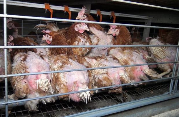 L214:les images les plus insoutenables de la souffrance animale
