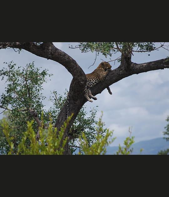 Le léopard africain, un grimpeur-né