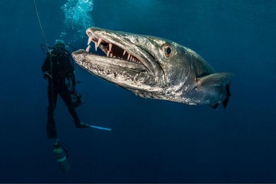 l u0026 39 impressionnant barracuda