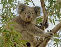 La vie secrète du koala : Une vie dans les arbres