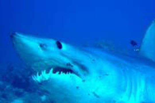 Comment réagir à une attaque de requin?