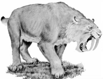 le smilodon avait un mode de vie plus proche de celui du lion que du tigre.
