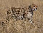 Mission spéciale : Sibella, le guépard miraculé