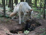 Loup vs ours