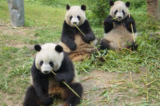 Le panda géant, symbole de paix