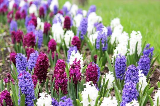 Jacinthe: plantation, entretien et floraison