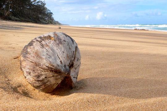 Comme une noix de coco sur le sable