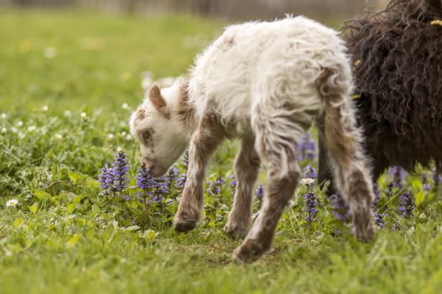 Des agneaux d'Ouessant au Parc Animalier de Sainte-Croix
