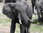 Eléphants, les chemins de la liberté