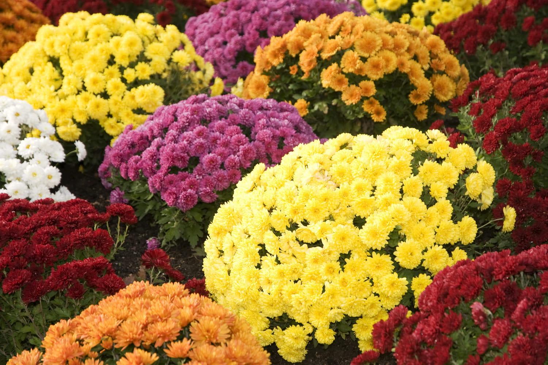 Chrysanthème: conseils de plantation, arrosage, entretien et floraison