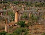 Baobabs, entre terre et mer