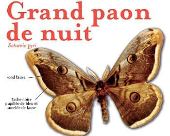 Grand paon de nuit - Invasion papillon de nuit ...