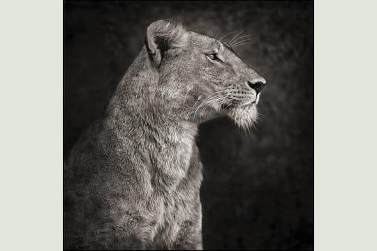 Lion contre un rocher