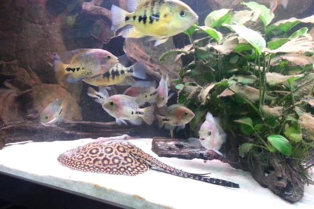 Une raie d'Amazonie à l'aquarium Sea Life Val-d'Europe