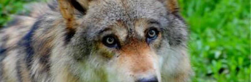 Tout savoir sur... le loup