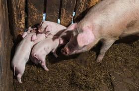 L214: une vidéo sur un abattoir de porcs en Bretagne créée l'émoi