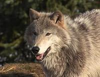 Anchorage, ville sauvage  : Une faim de loups