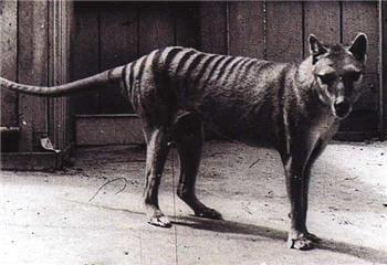 les derniers tigres de tasmanie connus étaient en captivité.
