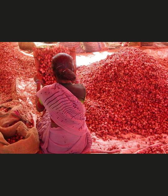 Pétales de rose en Inde du Sud